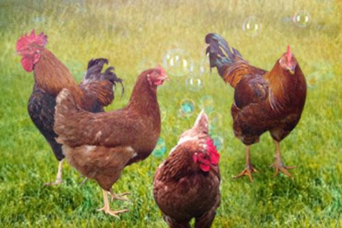 搶救這隻福報雞,我相信,師父和上師現在也在微笑吧!